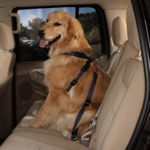 Dog in safety harness on the back seat of the car