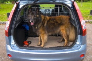 Dog in boot of car with dog guard barrier